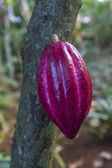 Cocoa pod hanging on a tree — Stock Photo