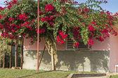 Tall Bougainvillea flower tree — Stock Photo