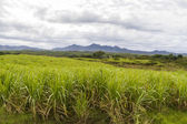 Sugar cane plantation on Cuba — Stock Photo