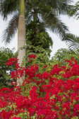 Red Bougainvillea flowers and palm tree — Stock Photo