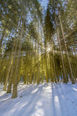 Spruce forest in winter with sun and rays — Stock Photo