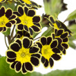 Silver and gold-caced Primrose — Stock Photo #23573977