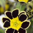 Silver and gold-caced Primrose — Stock Photo