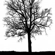 Oak tree without leaves against white background — Stock Photo