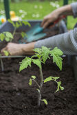 Planting young tomato plants — Stock Photo