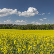 Blooming rapeseed field with blue and cloudy sky - Stock Photo