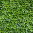 Stock Photo: Parthenocissus tricuspidatplants as background