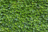 Parthenocissus tricuspidata plants as background — Stock Photo