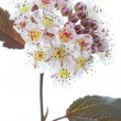 Blooming Ninebark (Physocarpus opulifolius) on white — Stock Photo