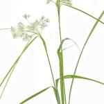 Постер, плакат: Luzula Nivea grass on white background