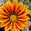 Midday flower, Gazania or iceplant flower in the garden, closeup — Stock Photo