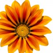 Midday flower, Gazania or iceplant flower on white — Stock Photo