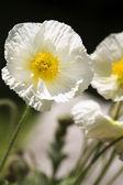 White Iceland poppy (Papaver nudicaule), closeup — Stock Photo