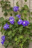 Modrý plamének květiny lezení nahoru na zeď — Stock fotografie