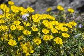Ranunculus montanus flower in the German alps — Stock Photo