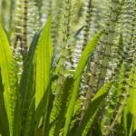 Hippuris vulgaris (Common Mares tail, Horsetail), closeup — Stock Photo #27342469