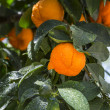 Stock Photo: Aurantium citrus fruits hanging on tree