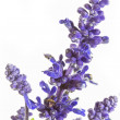 Purple salvia nemorosa plant on white background — Stock Photo