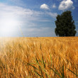 Barley field (Hordeum vulgare) in warm light — Stock Photo