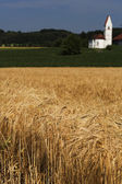 Barley field (Hordeum vulgare) with small church in the background — Stock Photo