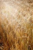Barley field (Hordeum vulgare) with sun rays — Stock Photo