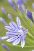 African blue lily (agapanthos africanus) with shallow DOF — Stock Photo