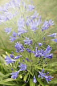 African blue lily (agapanthos africanus) in the garden — Stock Photo