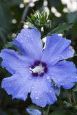 Blue hibiscus flower with water drops, closeup — Photo