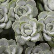 Stock Photo: Sedum spathulifolium 'Cape Blanco' plant as background