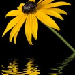 Stock Photo: Yellow Rudbeckiflower with water effect on black background