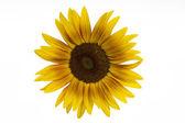 цветение подсолнечника голову на белом фоне — Стоковое фото