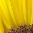 Stock Photo: Sunflower detail