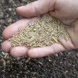 Hand holding grass seeds — Stockfoto
