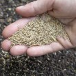 Hand holding grass seeds — Stock Photo