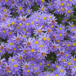 Aster flowers with small drops of water — Stock Photo
