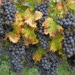 Stock Photo: Red ripe grapes and leaves in Rhineland-Palatinate, Germany