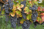 Red ripe grapes and leaves in Rhineland-Palatinate, Germany — Stock Photo