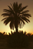 Date palmtrees with sunset in Marocco, Africa — Stock Photo