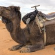 Stock Photo: Dromedar in Morocco, North Africa