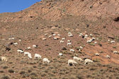 Sheep and goats in the Moroccan mountains — Stock Photo