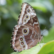 Peleides Blue Morpho Butterfly — Stock Photo #41929491