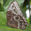 Peleides Blue Morpho Butterfly — Stock Photo #41929597
