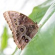 Peleides Blue Morpho Butterfly — Stock Photo #41930105