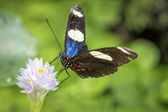 Sara longwing butterfly (Heliconius sara) — Stock Photo