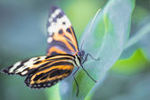 Tropical butterfly (Heliconius hecale zuleika) — Stock Photo