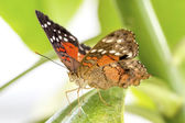 Tropical butterfly (Anartia amathea) — Stock Photo