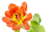 Orange and yellow tulip (tulipa) — Stock Photo