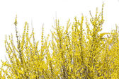 Blooming forsythia bush isolated on white — Stock Photo