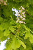 Flowering chestnut tree (Aesculus hippocastanum) — Stock Photo