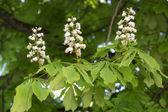 Flowering chestnut tree (Aesculus hippocastanum) — Stock Photo